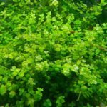 Best floating Aquarium Plants & Buyers Guide