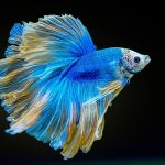 How often do you feed a Betta Fish? - The complete Guide
