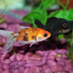 Which Aquarium Fish lives the longest?