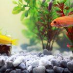 Can Aquarium Plants grow in Gravel?